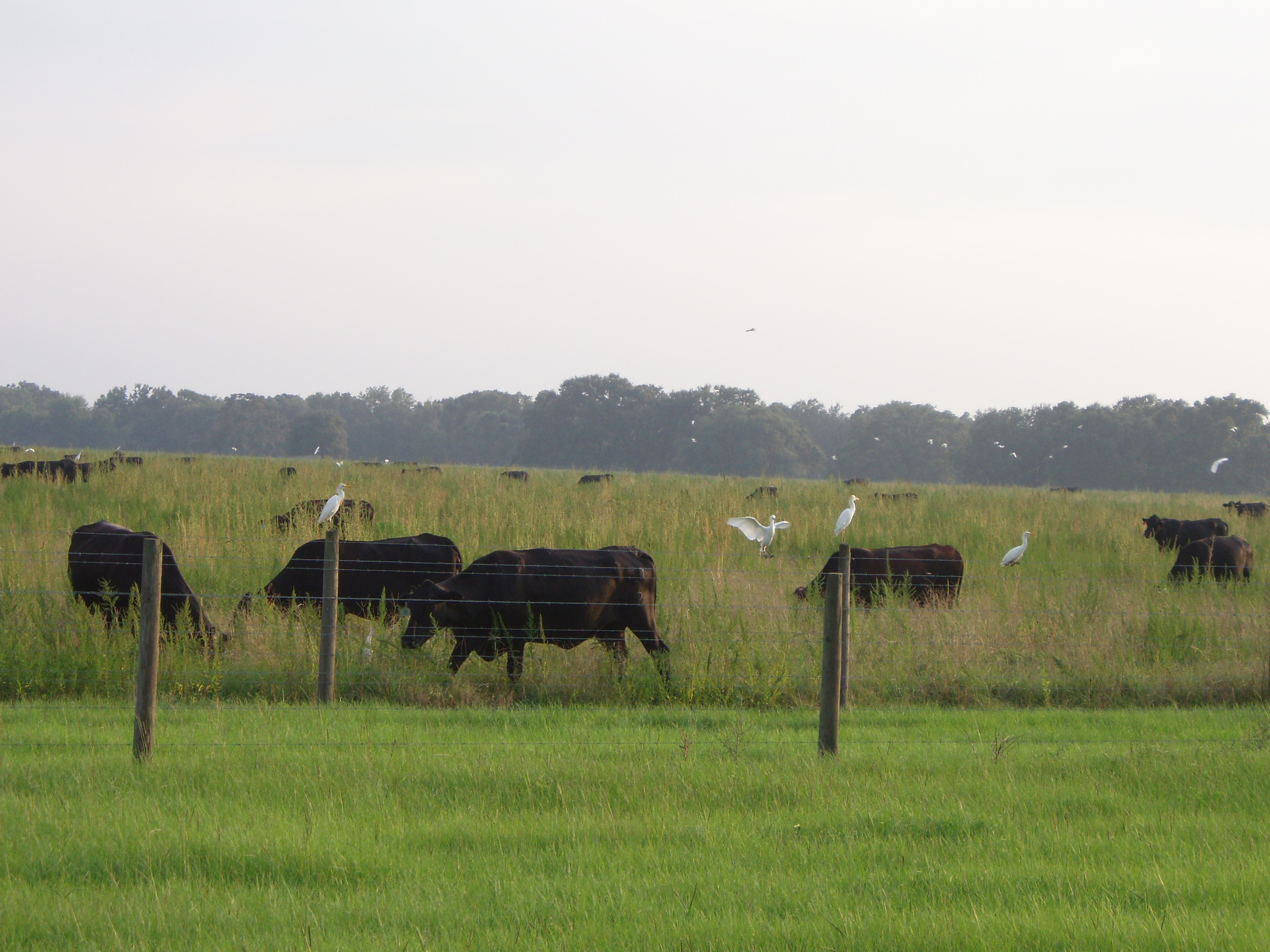 Morsani Ranch Cattle and Egrets